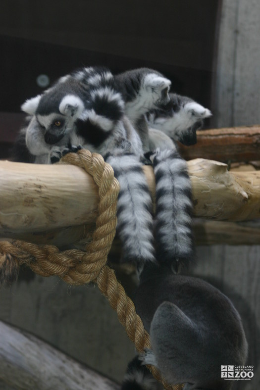 Ring Tailed Lemurs Looking Down