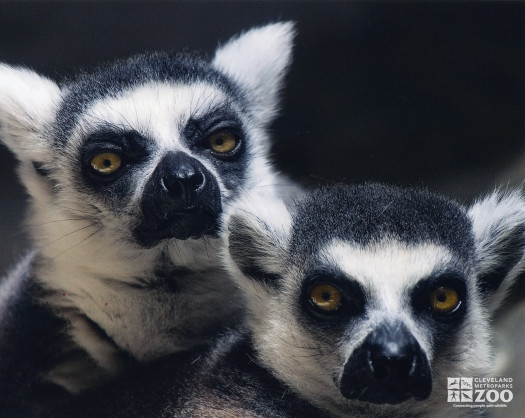 Ring Tailed Lemurs Two Close Up