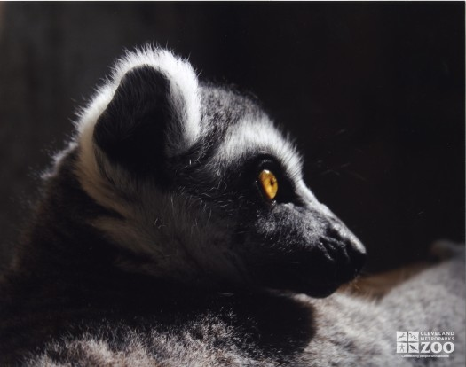 Ring Tailed Lemur Face in Profile