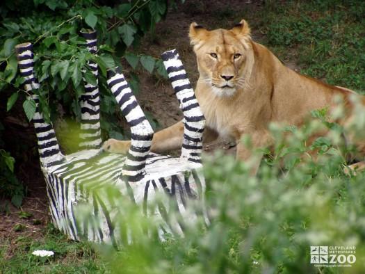 Lion and Paper Mache Zebra