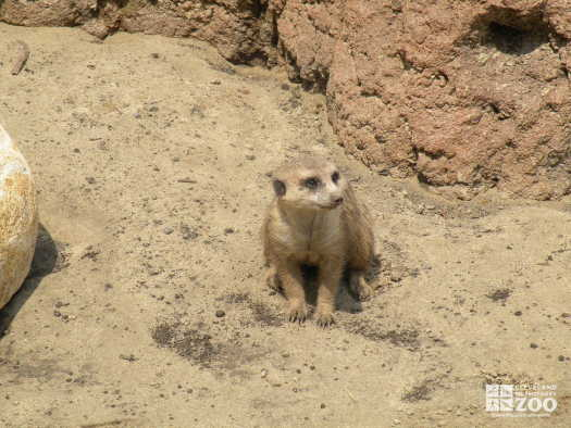 Meerkat from a Distance