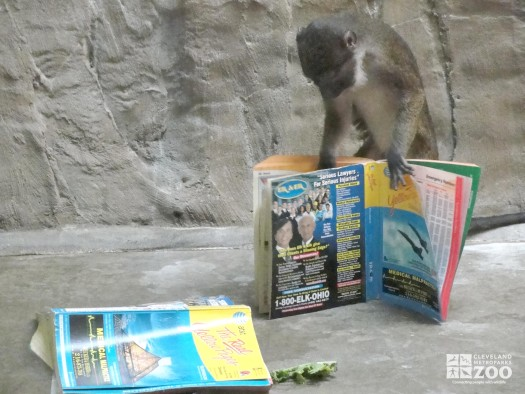 Allen's Swamp Monkey with Phone Book 2