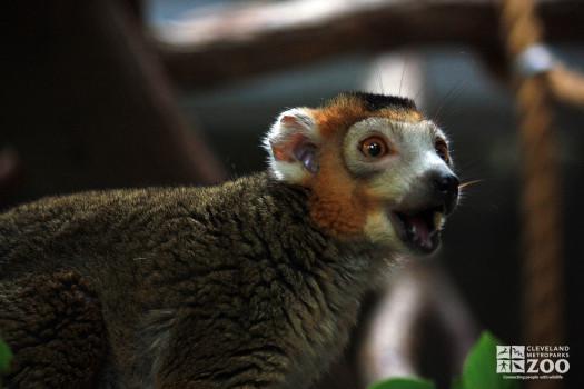 Crowned Lemur Close Up