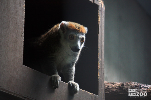 Crowned Lemur Looks Out