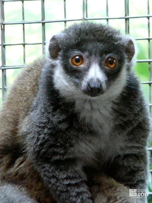 Mongoose Lemur Looks Ahead