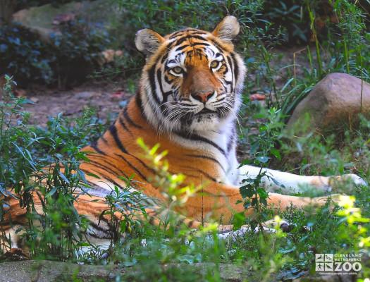 Tiger Looks Over Shoulder