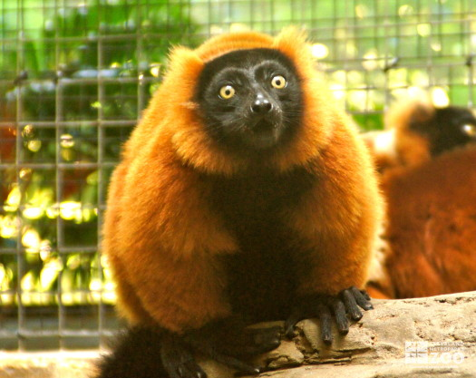 Red Ruffed Lemur Front