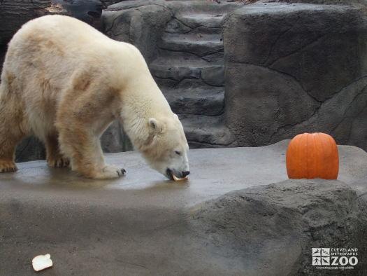 Polar Bear with a Pumpkin