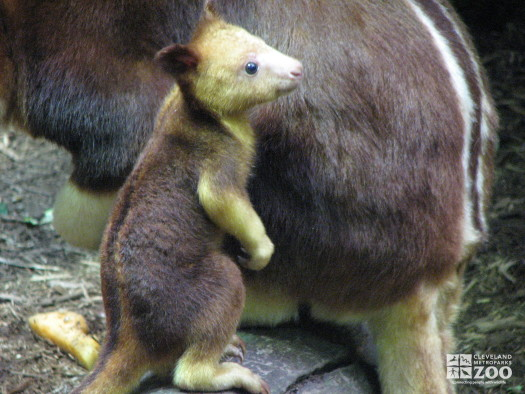 Goodfellow's Tree Kangaroo Joey