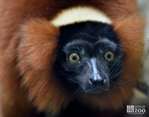 Red Ruffed Lemur Close Up