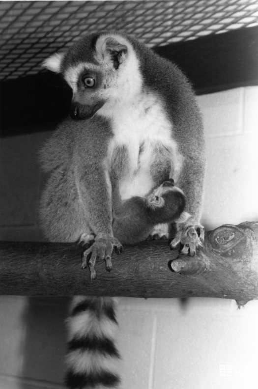 Ring-Tailed Lemur and Baby 1