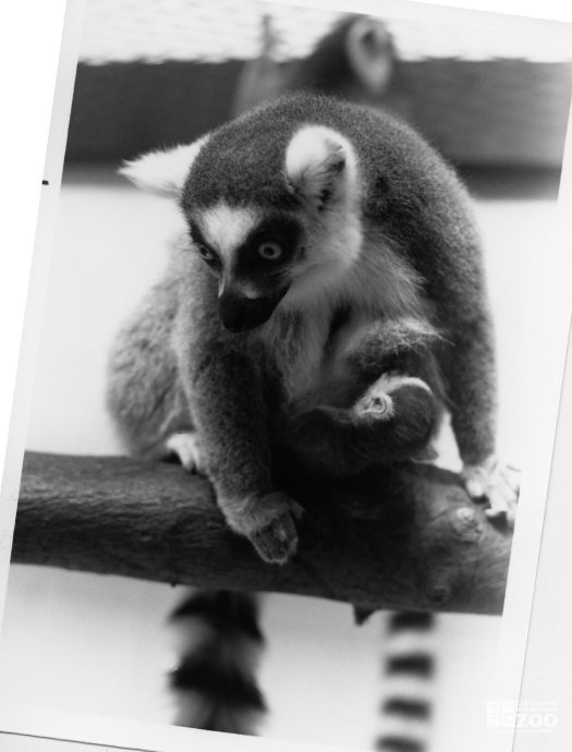 Ring-Tailed Lemur and Baby 2