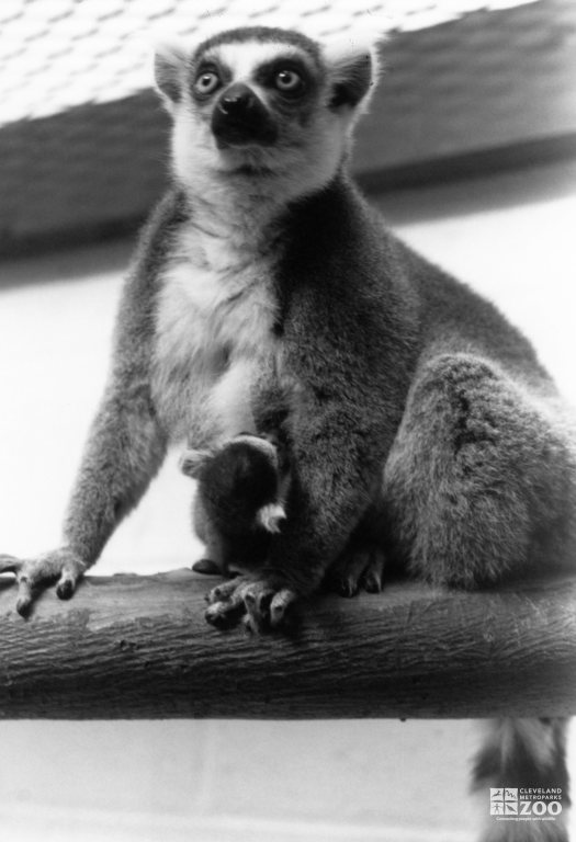 Ring-Tailed Lemur and Baby 3