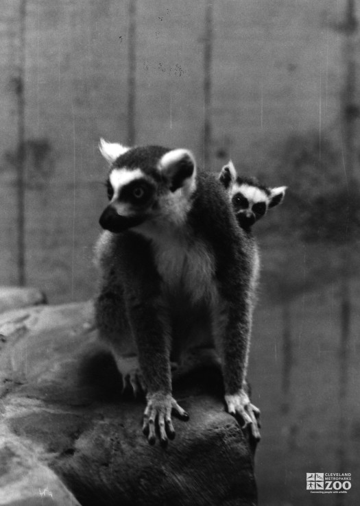 Ring-Tailed Lemur and Baby 4