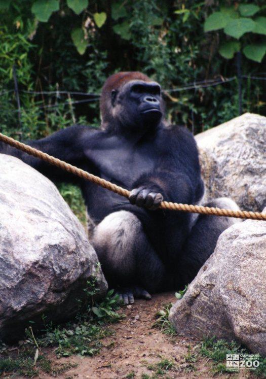 Gorilla, Western Lowland7