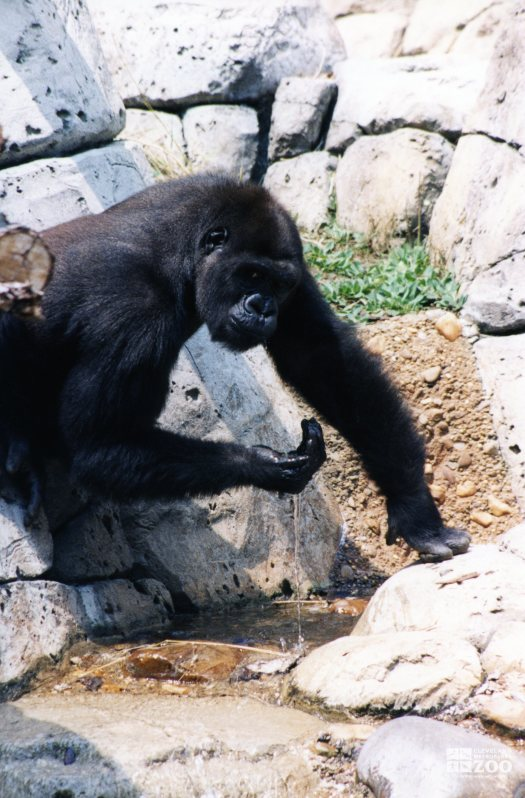 Gorilla, Western Lowland18