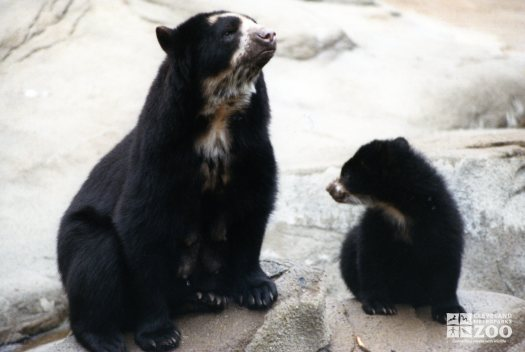 Andean (Spectacled) Bear Lady Washington and Cub