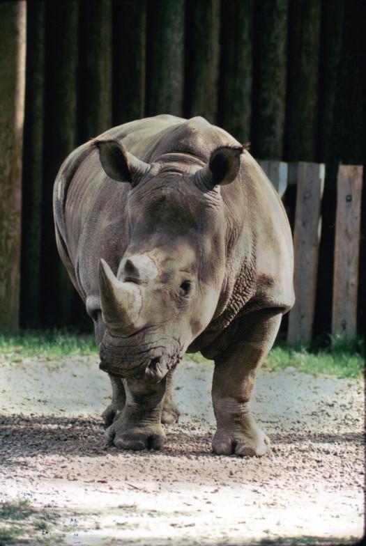 Black Rhinoceros Walking Forward