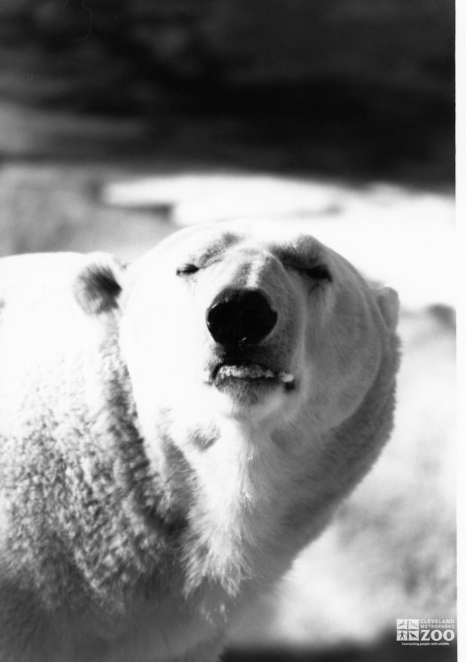 Polar Bear Black and White Up Close Of Face