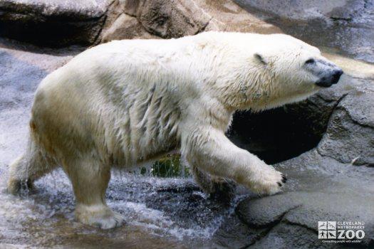 Polar Bear Wet From Water