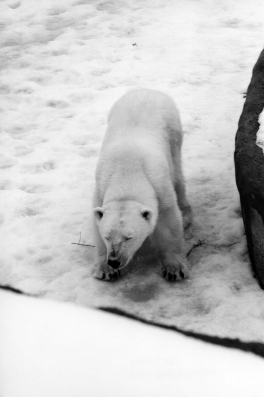 Polar Bear Standing In Snow With Eyes Close