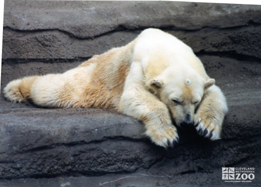 Polar Bear Resting On the Rock