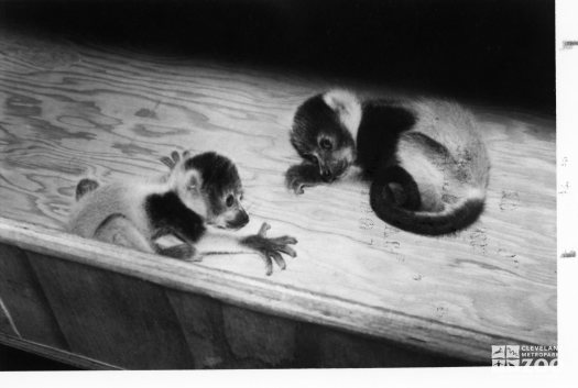 Red Ruffed Lemur Babies