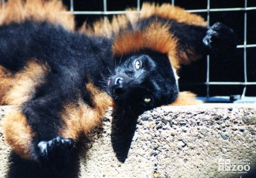Red Ruffed Lemur on Back