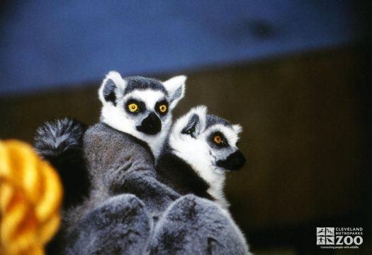 Ring-Tail Lemurs
