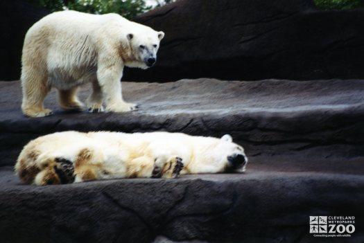 Two Polar Bears Enjoying Exhibit 2