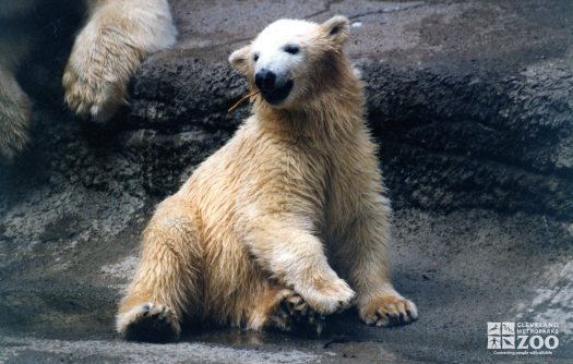 Polar Bear Playing With A Stick 2