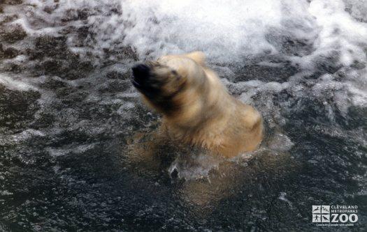 Polar Bear Shaking Water Off In Water