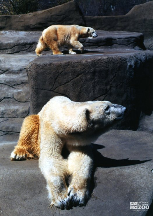 Two Polar Bears Looking Right
