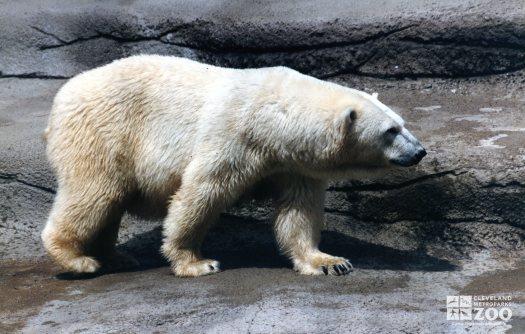 Polar Bear Walking On Ledge 2