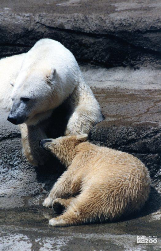 Polar Bear Cub Nudges Mom 2
