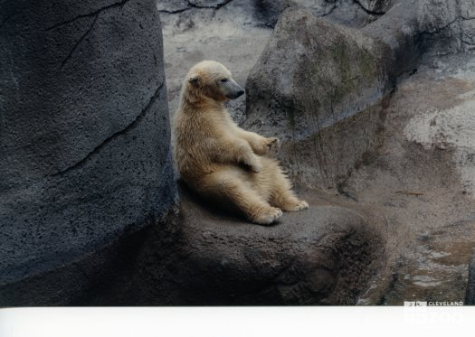 Polar Bear Sitting Up On Rock