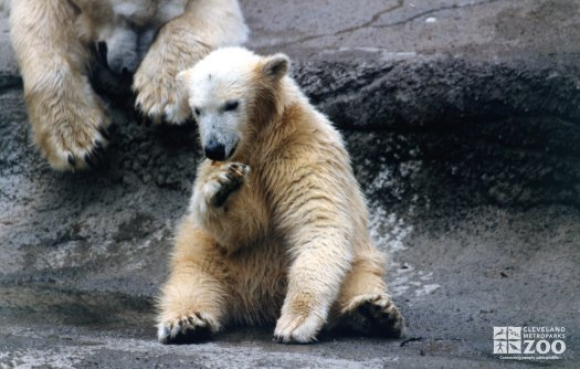 Polar Bear Playing With A Stick Next To Mom 2