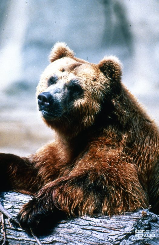 Grizzly Bear Up Close With Front Paws On Log