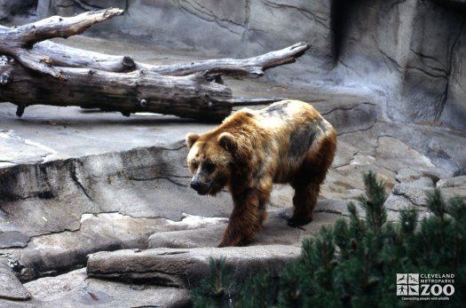 Grizzly Bear Walking Forward