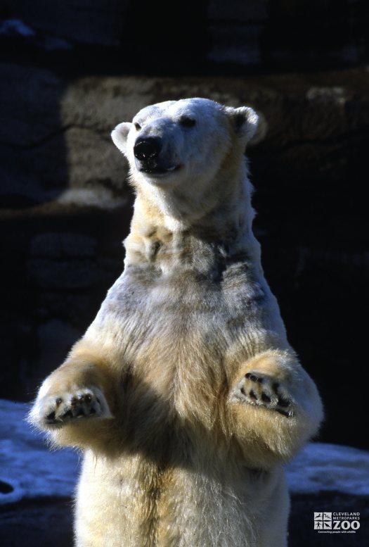 Polar Bear Standing On Hind Legs