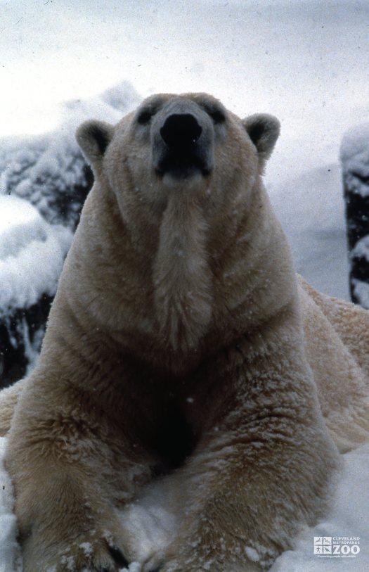 Polar Bear Facing Forward In Snow