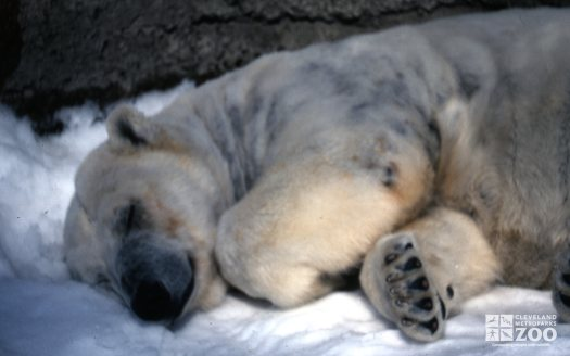 Polar Bear Sleeping In Snow