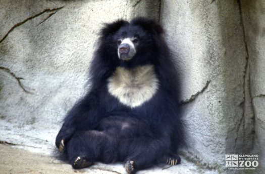 Sloth Bear Sitting Against Rock