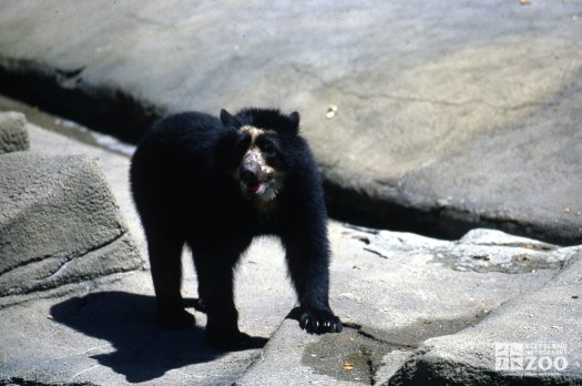 Andean (Spectacled) Bear With Paw On Rock