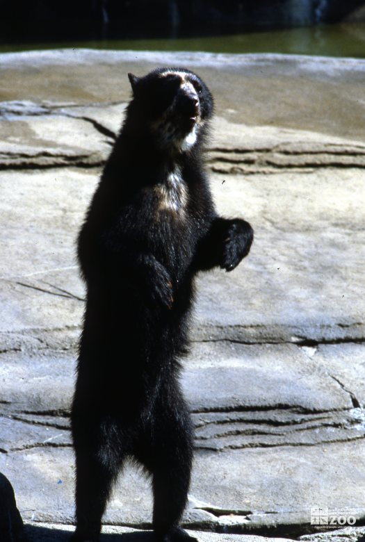 Andean (Spectacled) Bear Standing Up