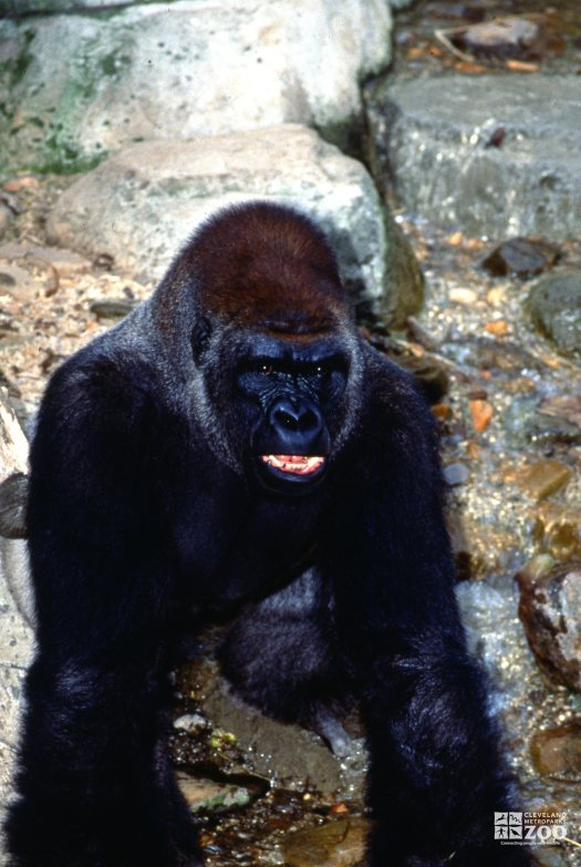 Gorilla, Western Lowland Showing His Teeth