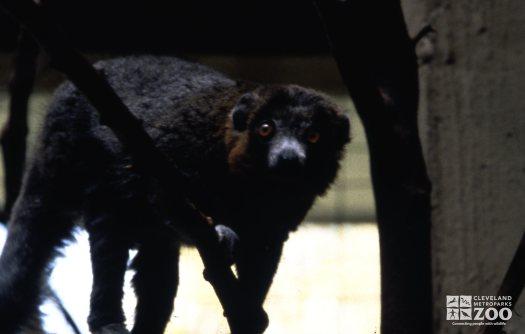 Mongoose Lemur Up Close