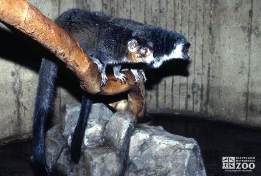 Mongoose Lemurs Sitting On Branch
