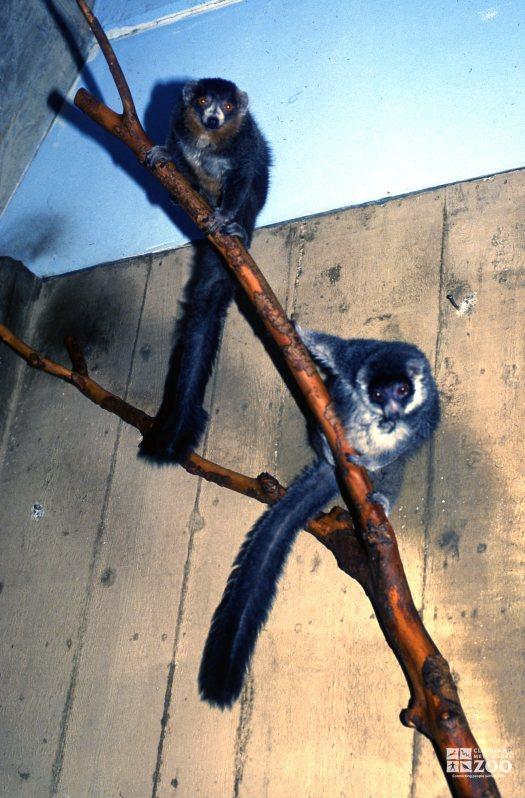 Mongoose Lemurs Looking Down