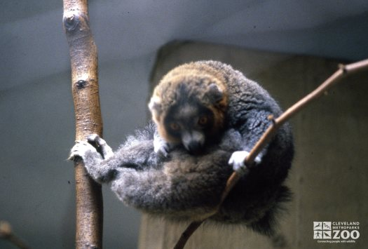 Mongoose Lemur Curled In A Ball